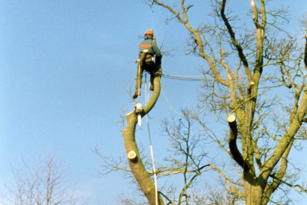 Tree surgeon felling tree